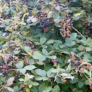 blackberry_bush